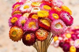 Hoa cúc bất từ khô với màu sắc sặc sỡ luôn được yêu thích
